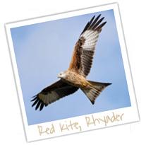 red kite rhyader wales